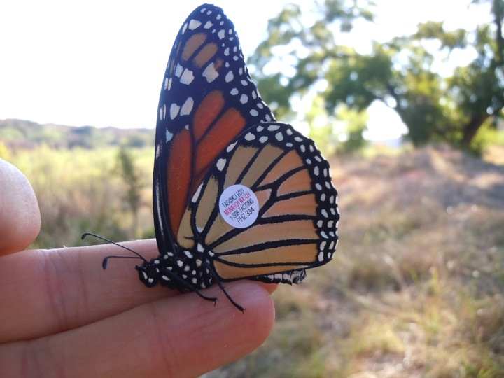 Tagged Monarch Butterfly